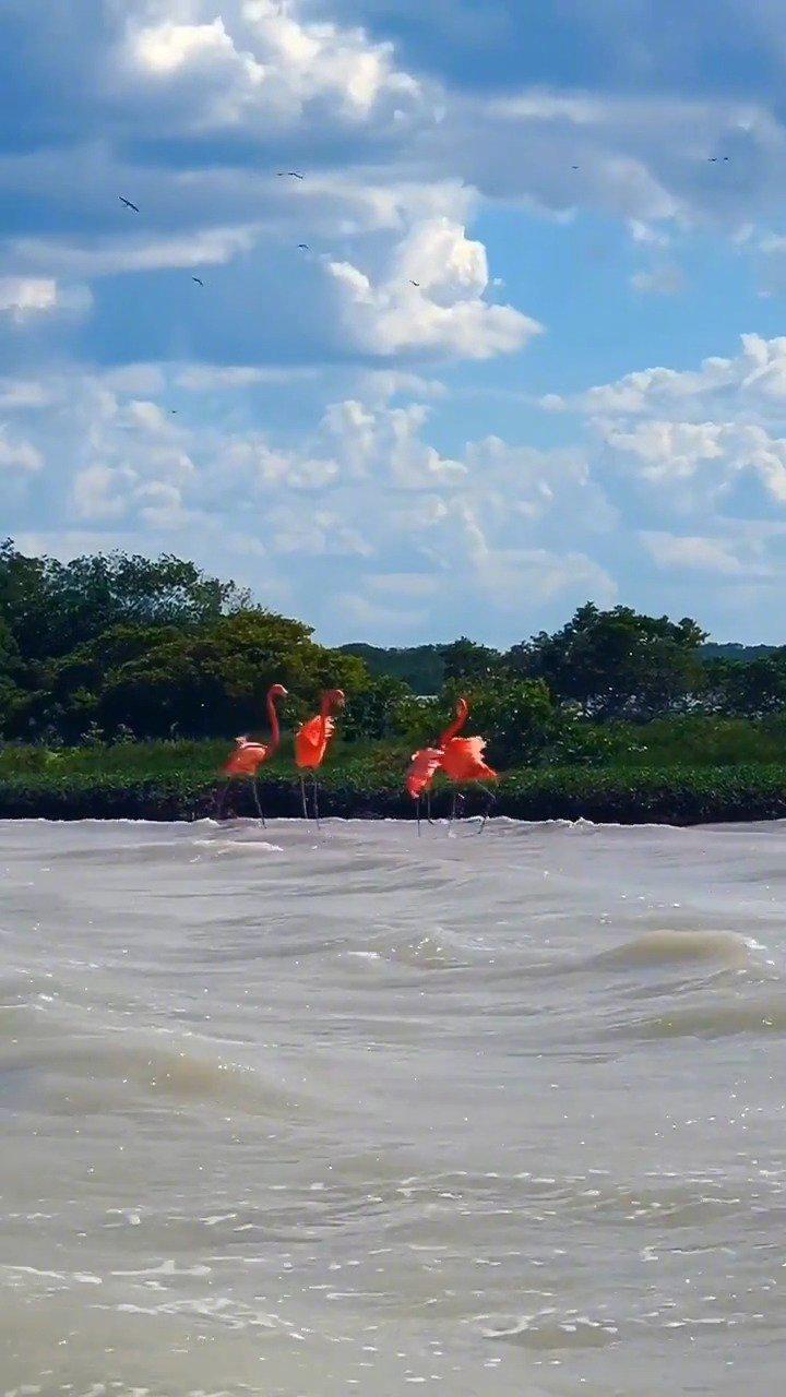 墨西哥 世界最大的火烈鸟栖息地 他们胆子太小 我们的船不敢靠近