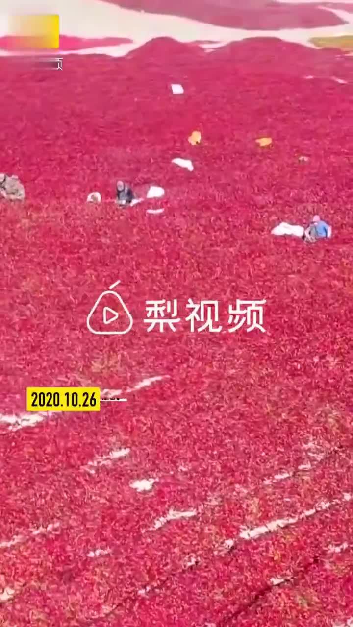 新疆巴州50万亩辣椒戈壁滩翻晒,一片红彤彤点缀荒漠十分壮观