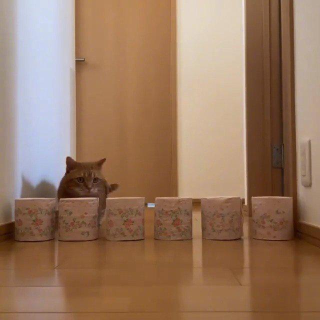 短腿猫挑战纸筒高度!