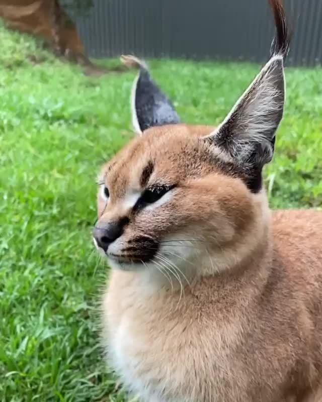 狞猫的绝活 wildcatcentre保护中心 by Nat Geo WILD Presenter