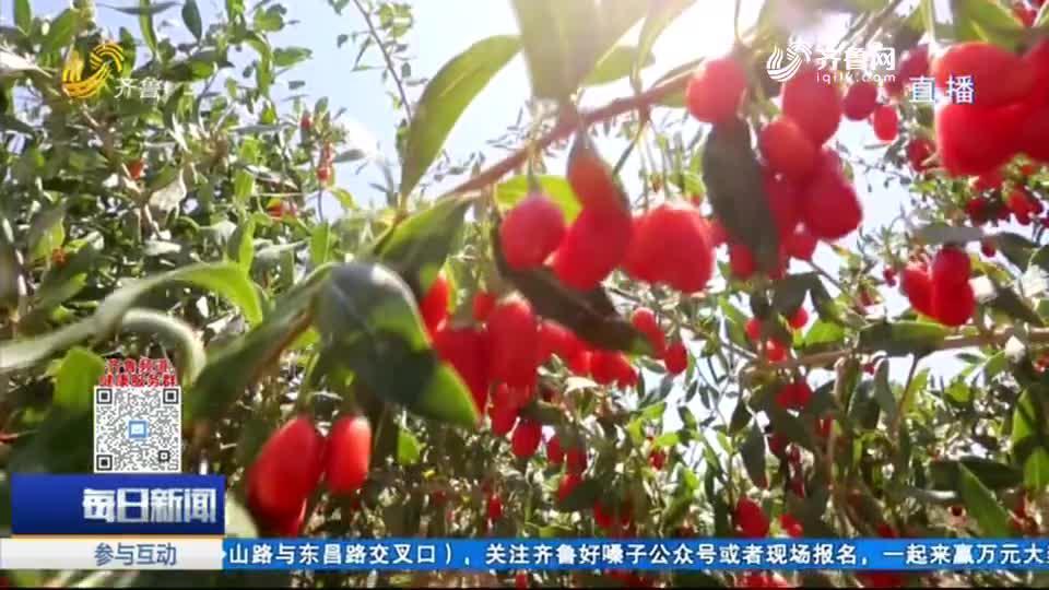 """漱玉平民大药房启动""""宁夏中宁道地枸杞节"""""""
