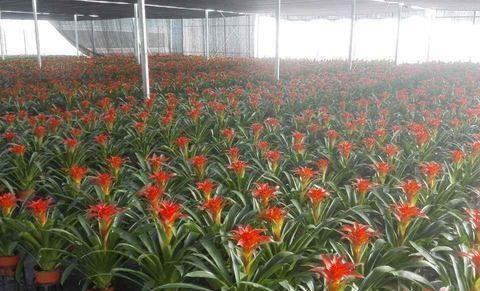 凤梨的花鲜艳美丽,但养殖起来不容易,一起来看看