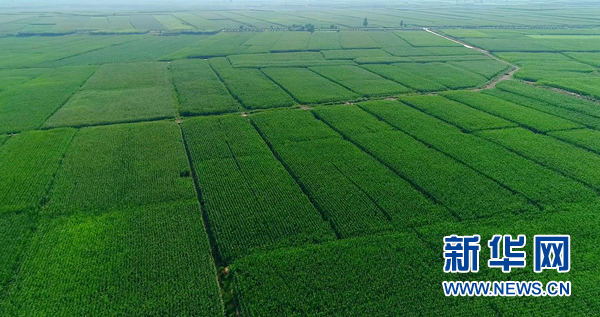 吴忠市境内一望无垠的青储玉米