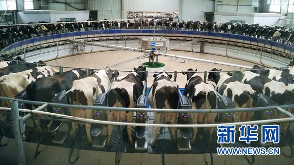 吴忠市一大型现代化牧场的转盘式挤奶设施