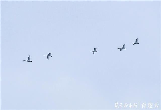 鄱阳湖鸟鸣环绕,小天鹅划破长空!