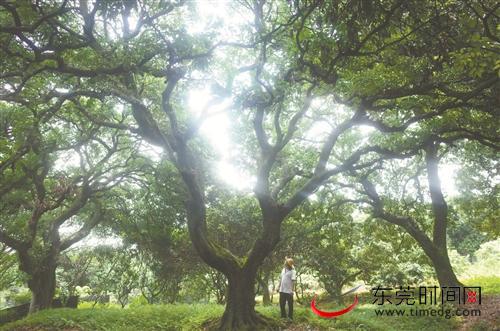 大朗水平村荔枝古树群:最老树龄超过300年