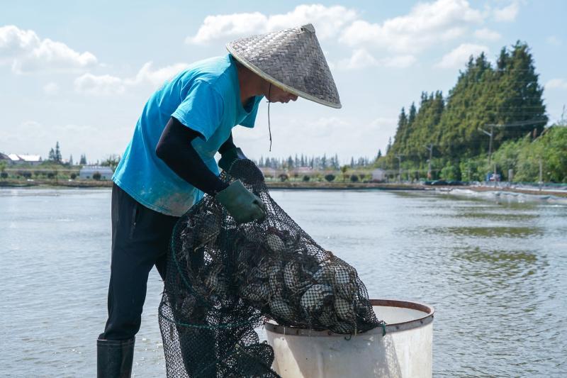 """上海把""""长腿大闸蟹""""养殖推广至17个省市,年创产值约10亿元"""