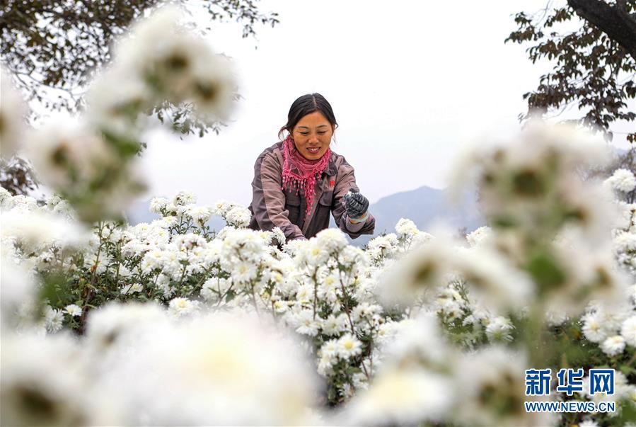 菊花种植铺就致富路