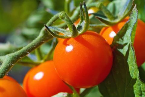 阳台上种西红柿的的具体步骤,简单易上手,随吃随摘,营养健康!