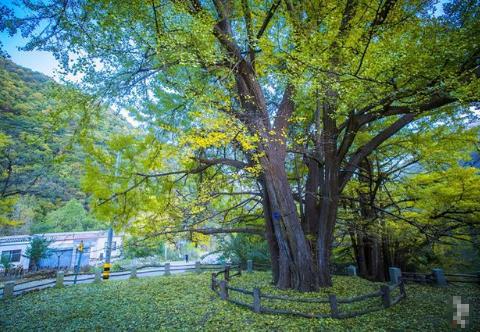 河南洛阳秋季打卡好去处,这里的银杏林美如童话