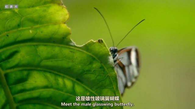 自制剪辑:这些蝴蝶的双翼如玻璃般透明!