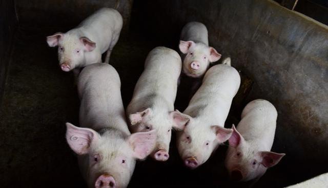 四川养猪户快来领2.2亿红包啦