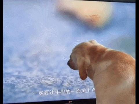电视里在煎牛排,拉布拉多上去就对屏幕舔起来,狗:咋没味道呢
