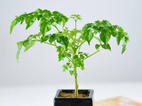 夏季养好发财树,注意这3点,叶片绿油油