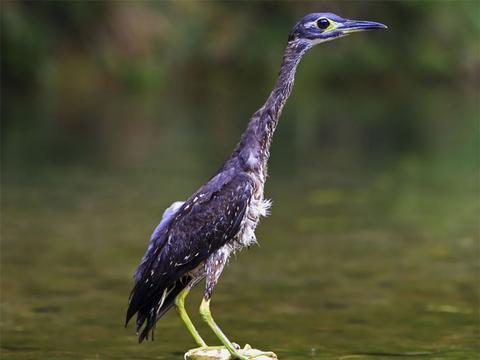 千岛湖发现长嘴怪鸟,似鸭子又像鸵鸟,一双大萌眼萌得路人不想走