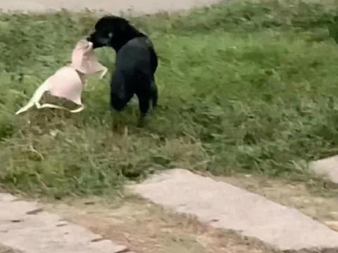 小黑狗行为迷惑,屡次叼内衣裤回去搭窝,现场过于欢乐