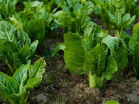 西兰花、芹菜都靠边,没它功效强,美容养颜、清热解毒、预防癌症