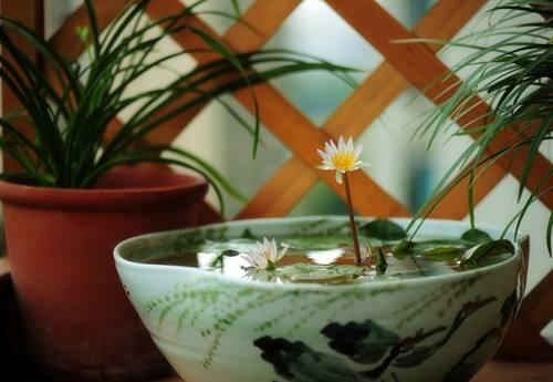 水培植物碗莲如何过冬?