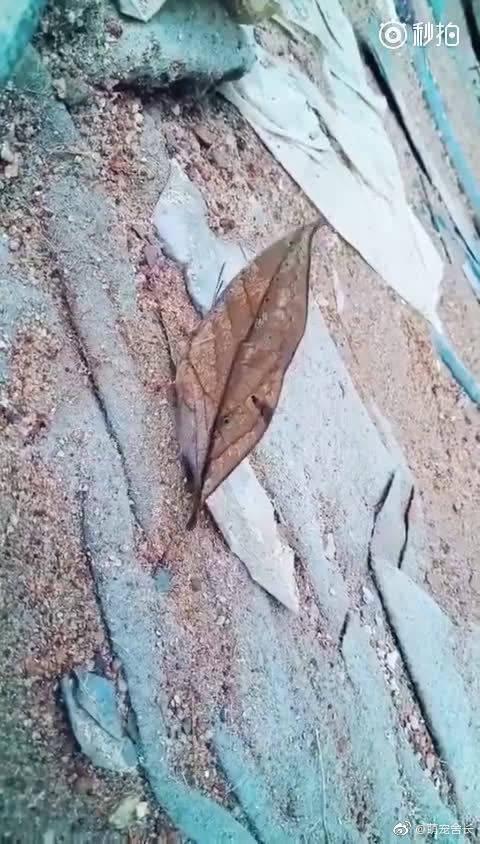 传说中的枯叶蝶,大自然的伪装术,有没有被惊讶到!