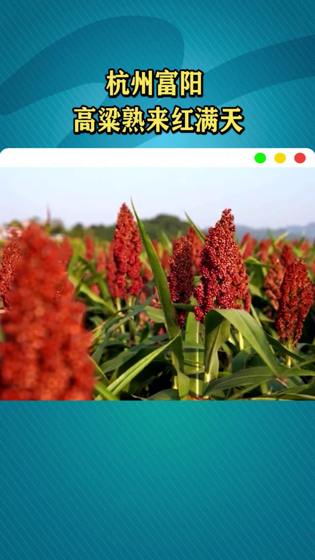 杭州富阳:高粱熟来红满天