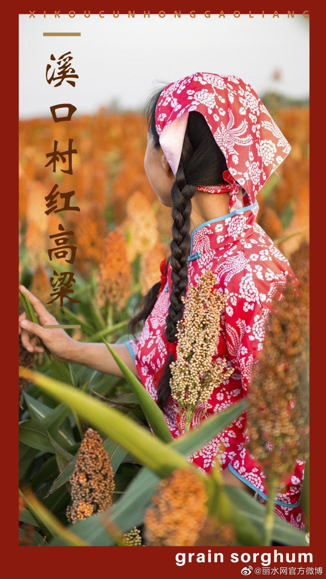 """高粱熟了红满天,云和湖畔这片""""红高粱""""火了……"""