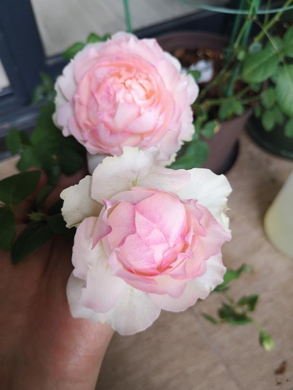 """一种自带""""仙""""气的月季花,花大色艳香浓,四季勤开,阳台也能养"""
