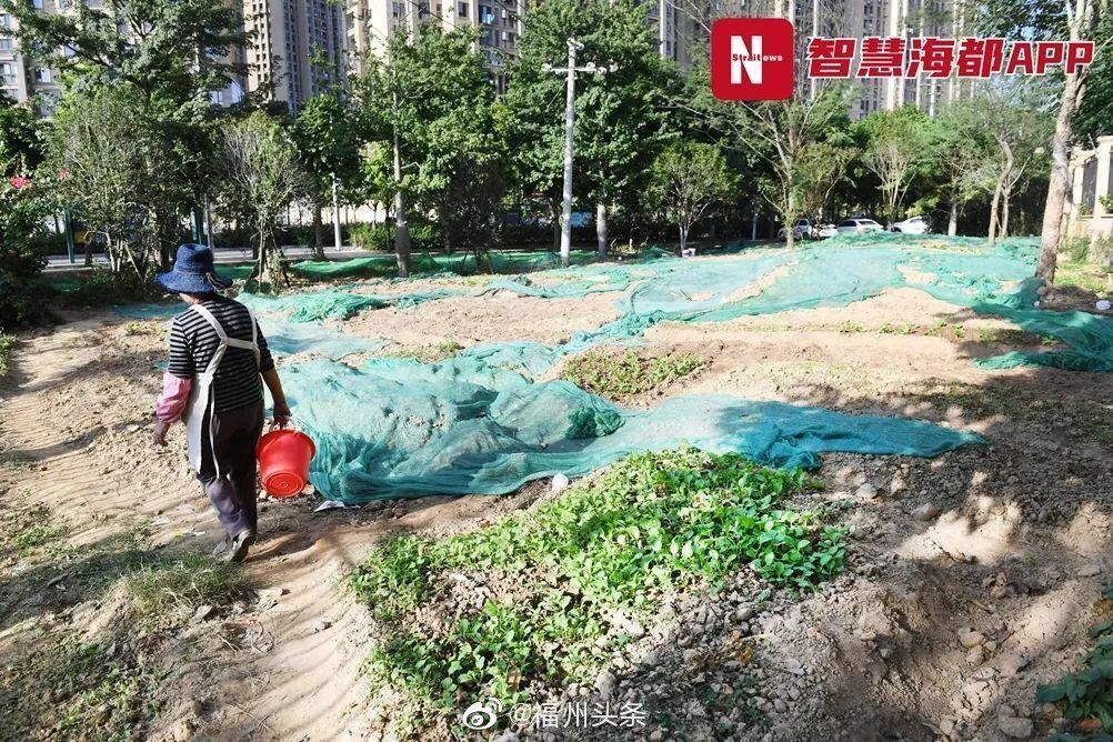 福州 屡禁不止!大面积公共绿地被用来种菜!还放着堆肥桶……