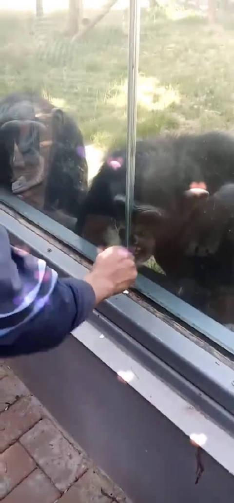 黑猩猩:你躲开 我来逗逗他