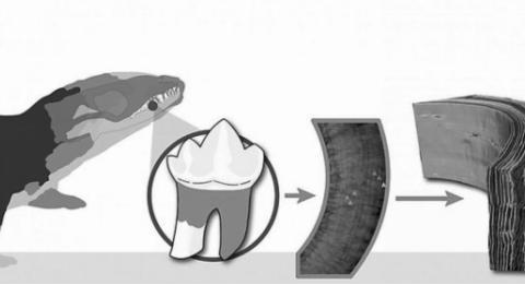 早期哺乳动物长什么样?生物学家发现远古牙齿,还原出它们的形态