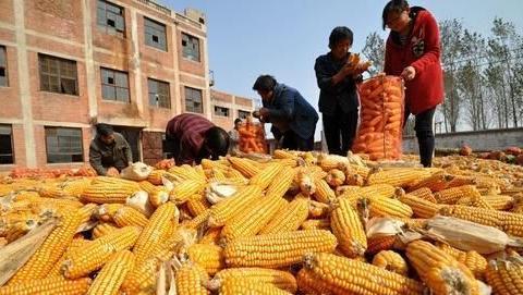 玉米是卖新鲜的棒子划算,还是卖干玉米粒更挣钱?