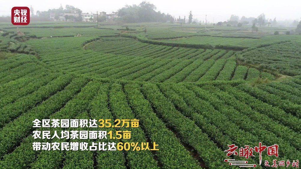 茶马古道的起点,35.2万亩茶园!