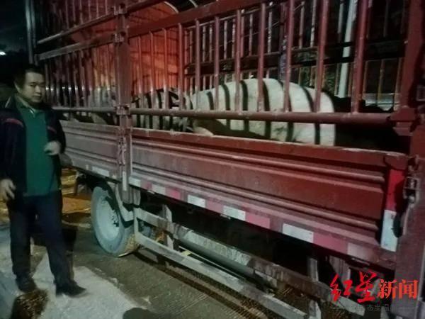 跨省过境贩运生猪发现非洲猪瘟病毒,货主被立案调查