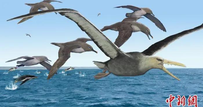 中美合作研究:5000多万年前南极伪齿鸟或为最大飞行鸟类