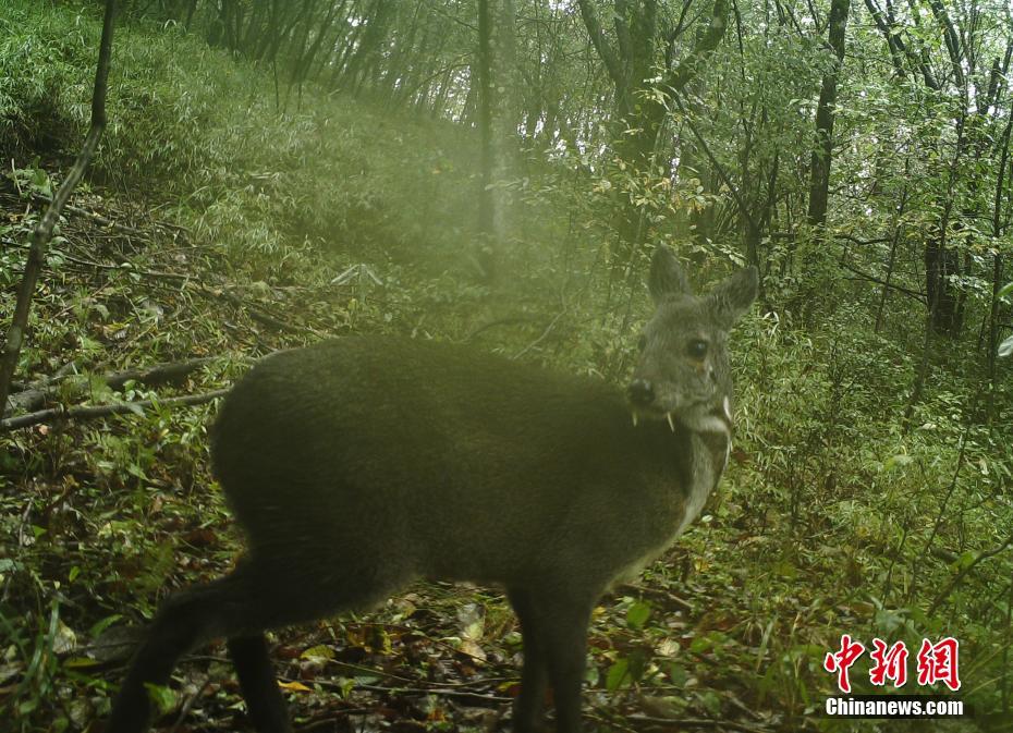 湖北后河国家级自然保护区发布珍稀野生动物照片