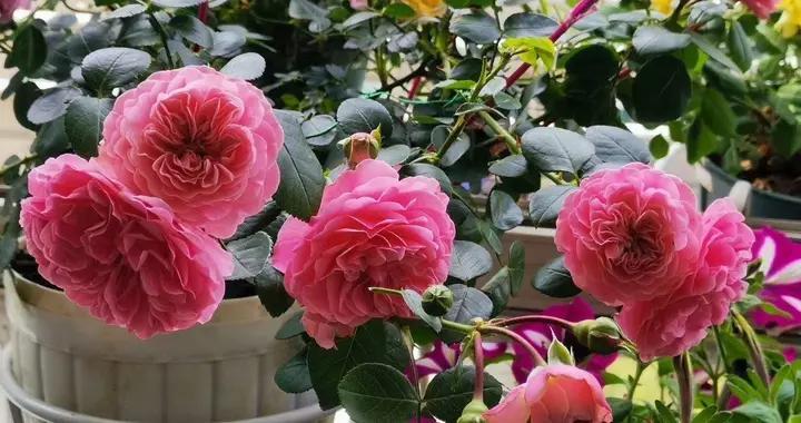 月季花墙怎么养成?3种藤月,打造出一个浪漫漂亮的月季小花园