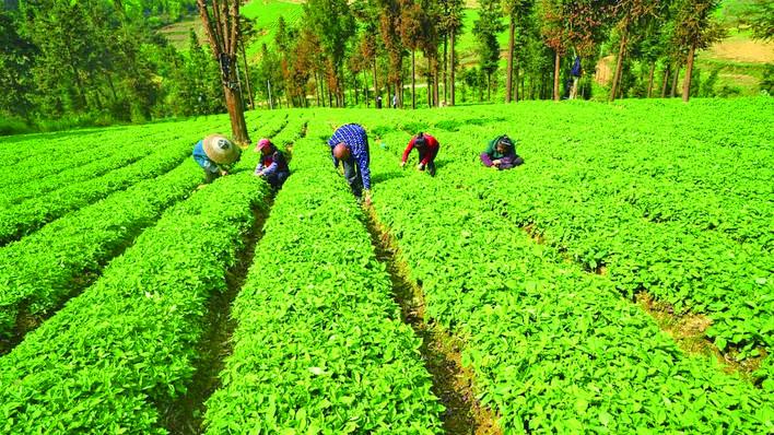 黄平县中药材产业稳固脱贫成果