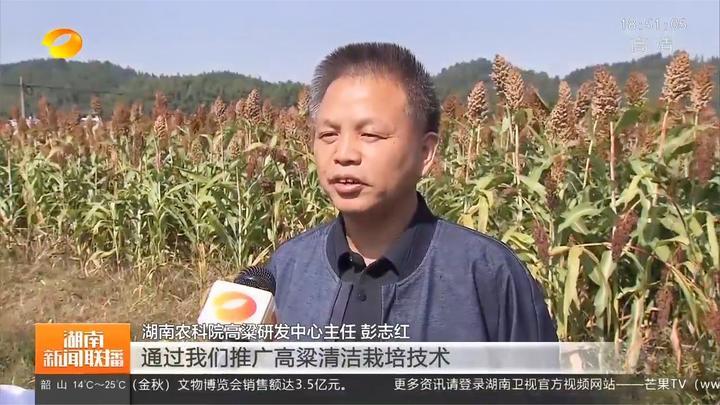 湖南高粱种植面积超50万亩,亩均纯收入超过1000元
