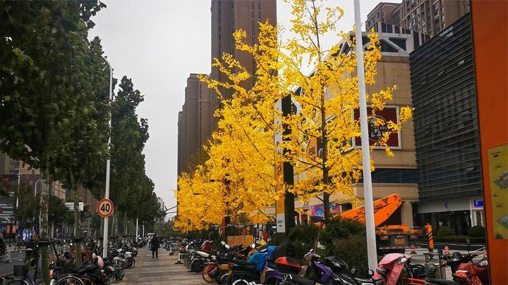 以假乱真?商场银杏变成金黄引人驻足 环卫工人:真叶子被撸掉了