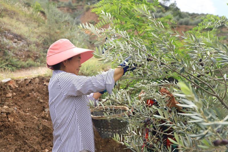 每年30万瓶橄榄油走上北京市民餐桌,塞外小城找到脱贫秘诀