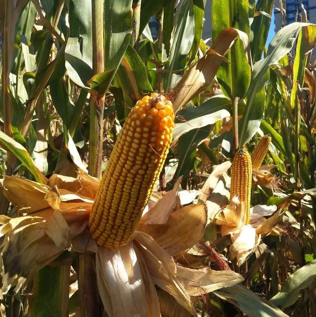 超抗倒、超高产,玉米新品种来啦!