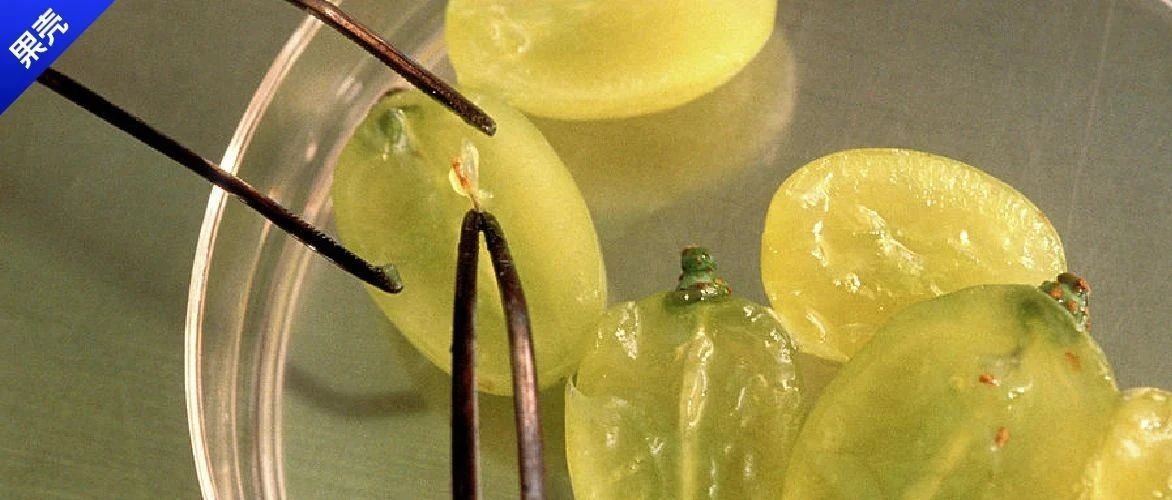 无籽葡萄没有种子怎么繁殖?靠剖腹产啊!