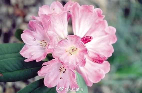昆明植物研究所选育出3个国家级杜鹃花新品种……