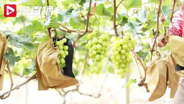 泰州阳光玫瑰独有的香气,藏在这串葡萄里