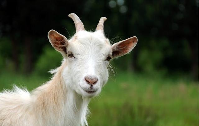 老养殖户说:通过羊的牙齿就能判断羊的年龄,原来还有一句顺口溜