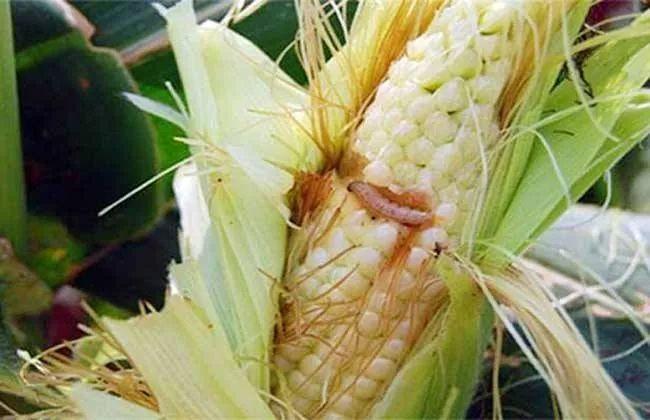 这个生物农药能杀15个目149个科700多种昆虫和螨类