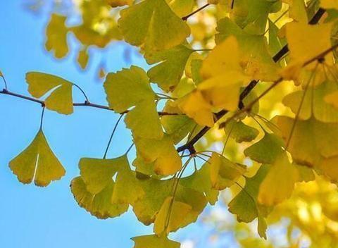 秋意浓,曲靖的银杏叶黄了!