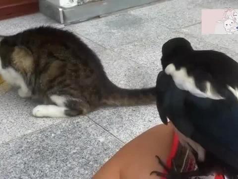 太坏了,小鸟为了吃到食物,多次从背后偷袭猫咪