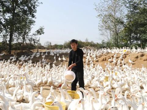 赵集镇贫困户田中山:鹅鹅鹅,脱贫致富向天歌!