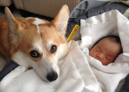 为啥养了柯基后,对其他狗就不感兴趣了?这几点太优秀了