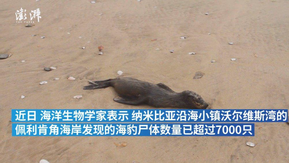 纳米比亚海岸现7000多只海豹尸体:雌性成年海豹居多